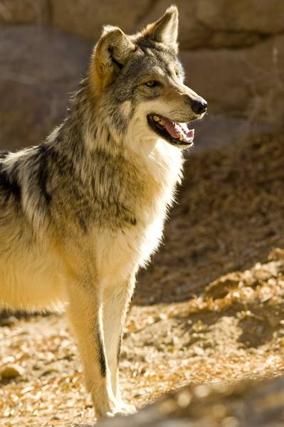 an introduction to the mexican grey wolf Economic impacts of the mexican grey wolf depredation on family cattle ranching in catron county, new mexico -  introduction of the wolf.